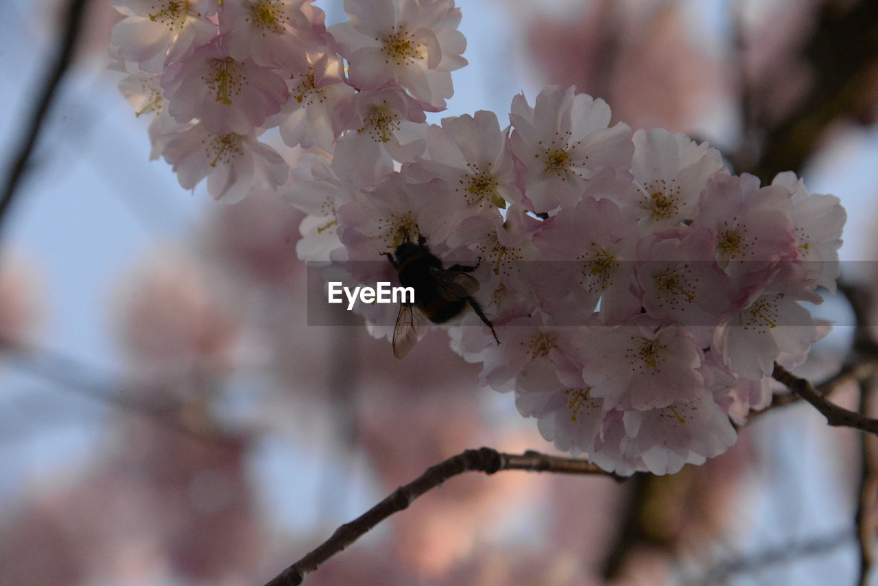 flowering plant, flower, fragility, plant, growth, vulnerability, freshness, beauty in nature, blossom, branch, springtime, tree, close-up, cherry blossom, day, focus on foreground, petal, no people, nature, twig, cherry tree, flower head, pollen, outdoors, bunch of flowers, spring