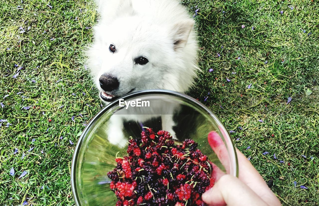 Cropped Image Of Owner Hand Feeding Berries To Pomeranian