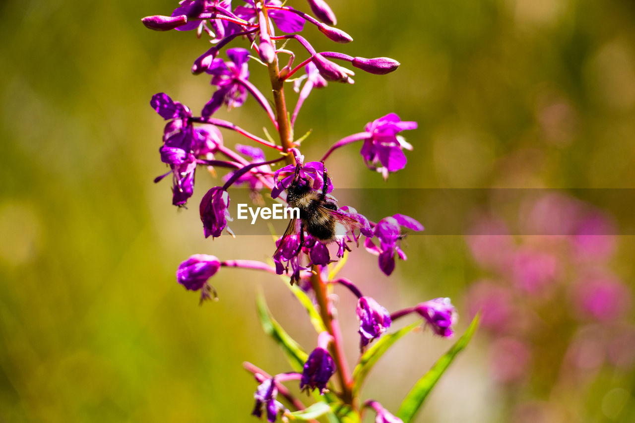 flower, nature, purple, growth, beauty in nature, fragility, plant, insect, outdoors, petal, no people, bee, day, blooming, close-up, freshness, animal themes, flower head