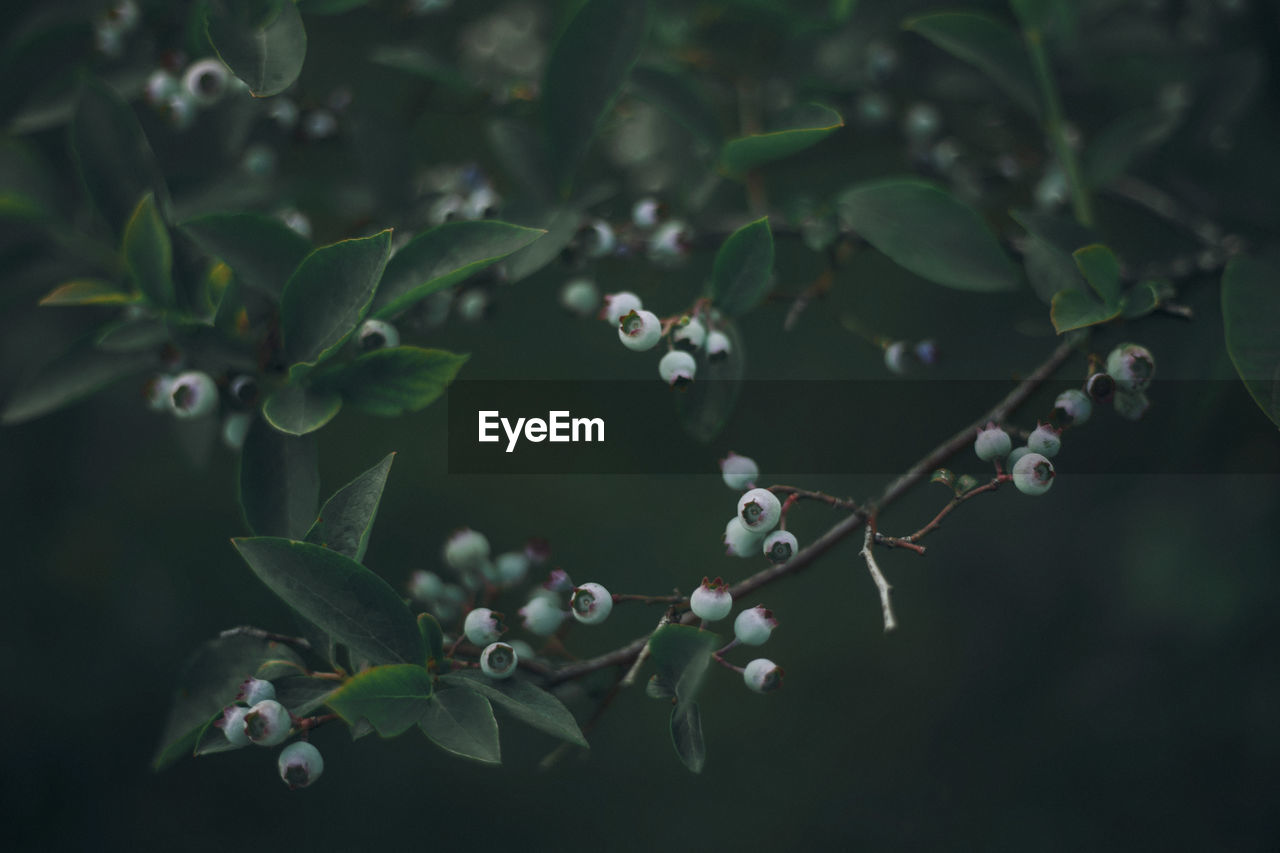 High Angle View Of Blueberries Growing On Tree At Farm