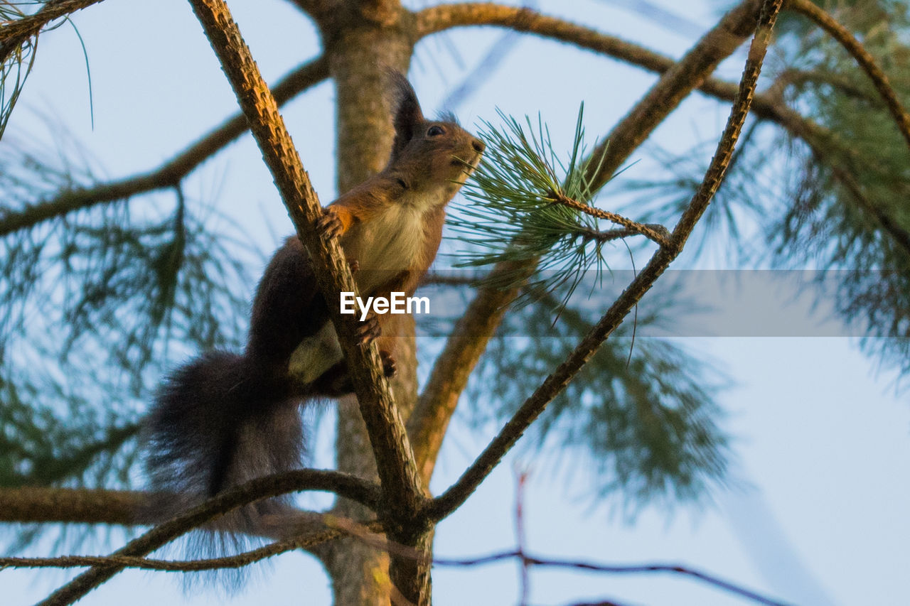 animal, branch, animal wildlife, animal themes, tree, one animal, plant, low angle view, vertebrate, animals in the wild, mammal, nature, no people, focus on foreground, day, rodent, sky, squirrel, outdoors, bare tree