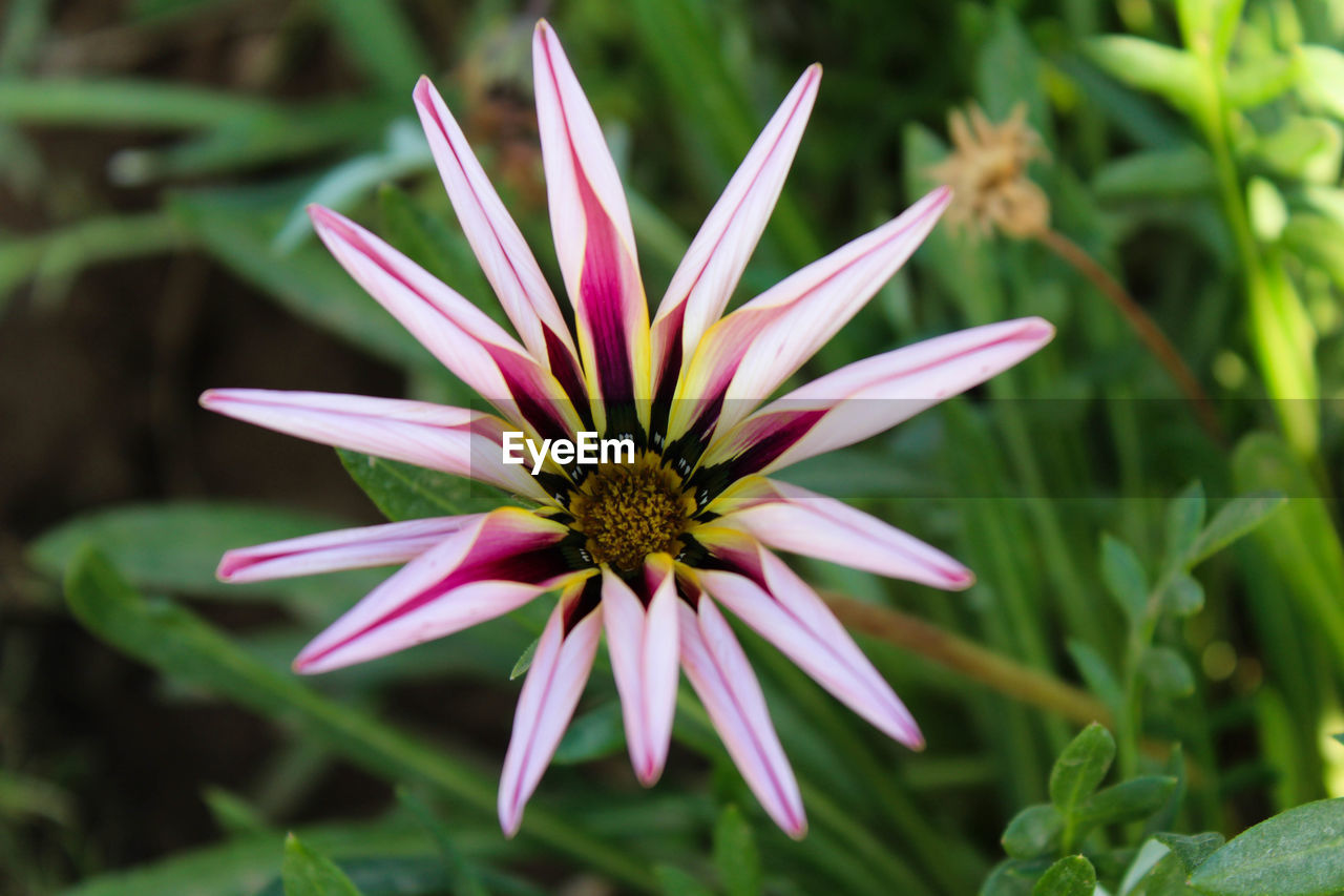 flowering plant, flower, plant, growth, freshness, beauty in nature, fragility, vulnerability, flower head, petal, inflorescence, close-up, focus on foreground, pollen, pink color, day, no people, nature, green color, gazania
