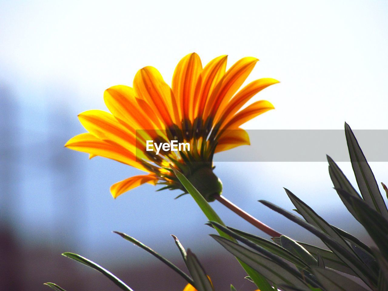 flowering plant, vulnerability, freshness, fragility, plant, growth, flower, petal, yellow, beauty in nature, close-up, flower head, inflorescence, nature, no people, day, focus on foreground, plant stem, orange color, sky, pollen, gazania, sepal