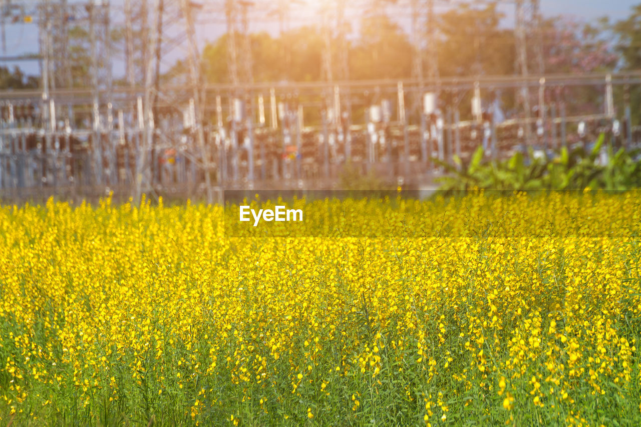 yellow, plant, beauty in nature, flower, agriculture, field, nature, landscape, flowering plant, land, crop, no people, day, freshness, rural scene, tranquility, growth, abundance, outdoors, oilseed rape, springtime, flowerbed