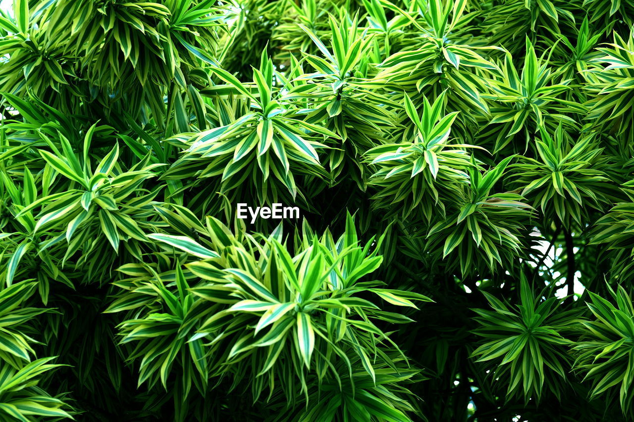 green color, plant, growth, beauty in nature, leaf, plant part, full frame, close-up, nature, backgrounds, no people, day, tree, tranquility, outdoors, freshness, focus on foreground, herb, medicine, food and drink, coniferous tree