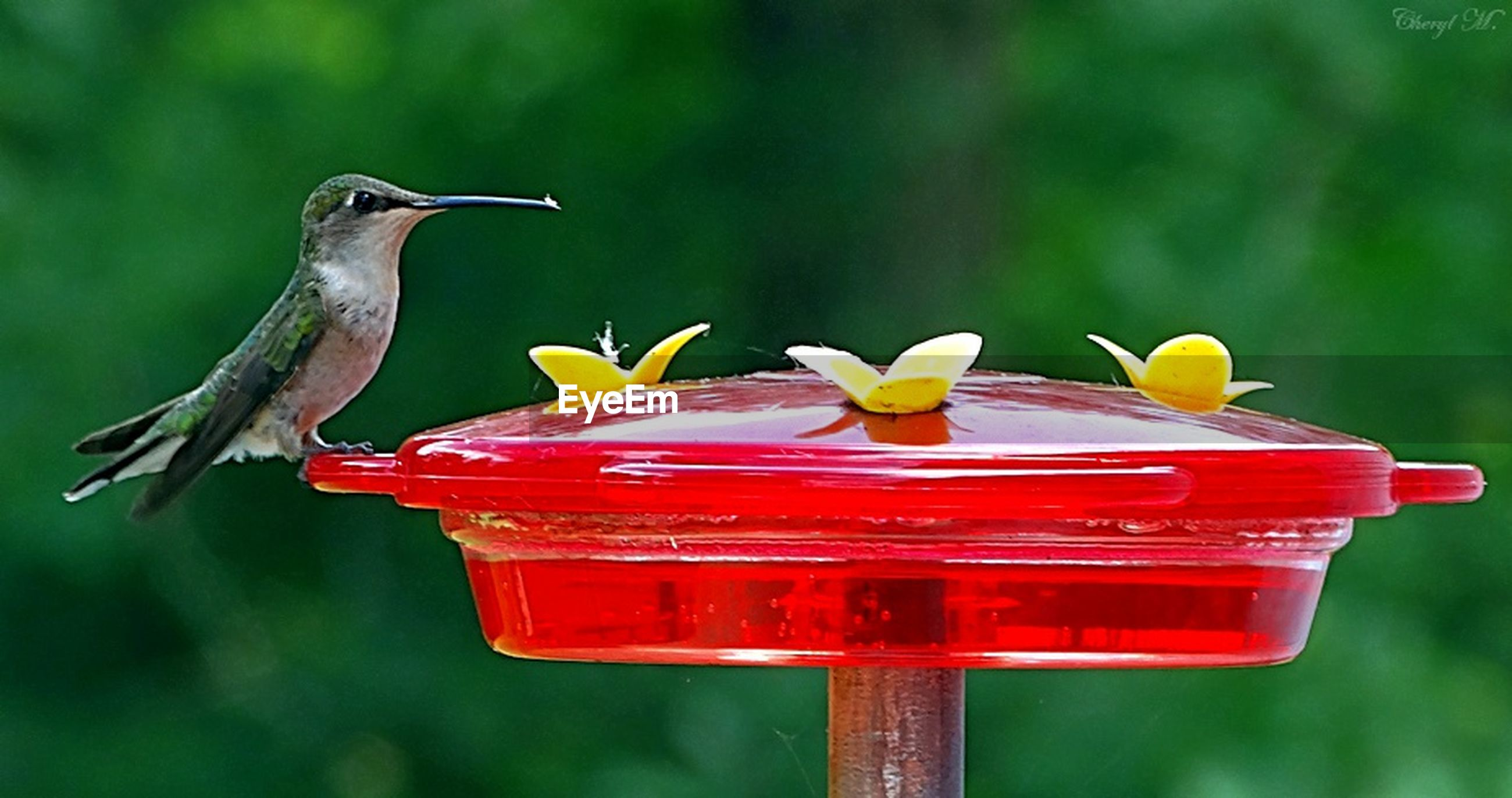 red, focus on foreground, close-up, bird, animals in the wild, flower, animal themes, one animal, day, nature, outdoors, wildlife, no people, beauty in nature, freshness, selective focus, park - man made space, side view, pink color, vibrant color