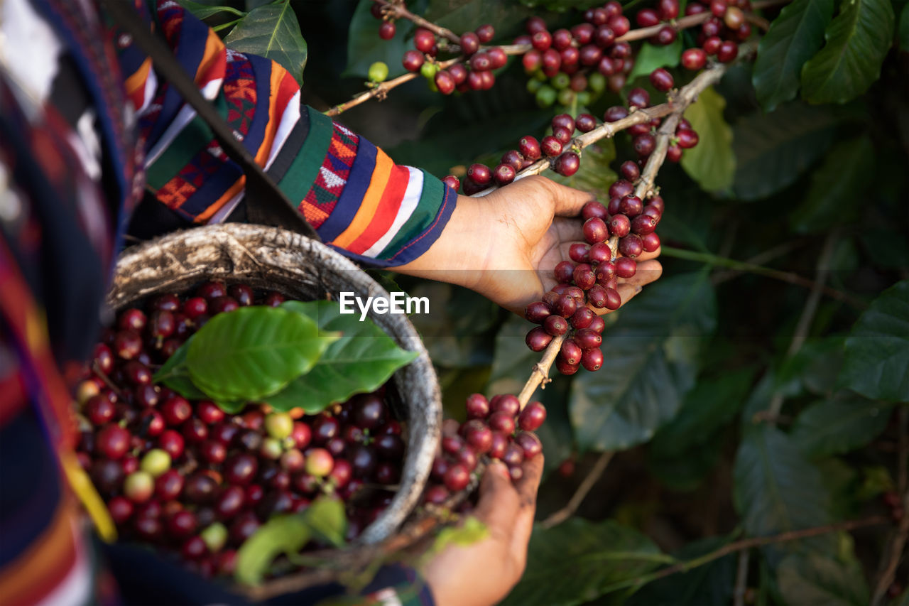 Midsection of woman picking berries from plant