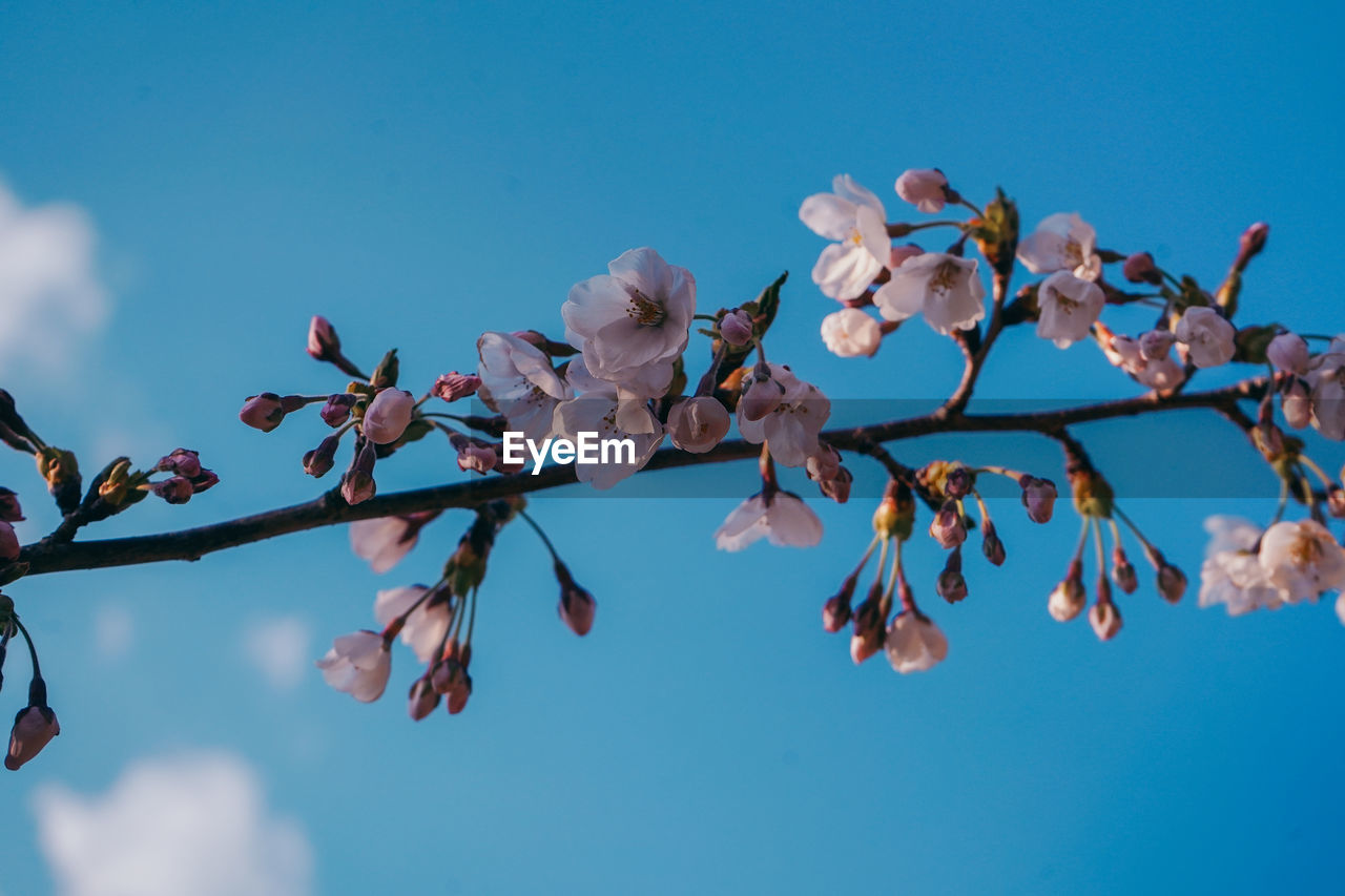 flowering plant, flower, plant, beauty in nature, sky, growth, fragility, tree, freshness, vulnerability, blossom, branch, springtime, low angle view, nature, close-up, no people, day, blue, petal, outdoors, flower head, cherry blossom, pollen, cherry tree, spring
