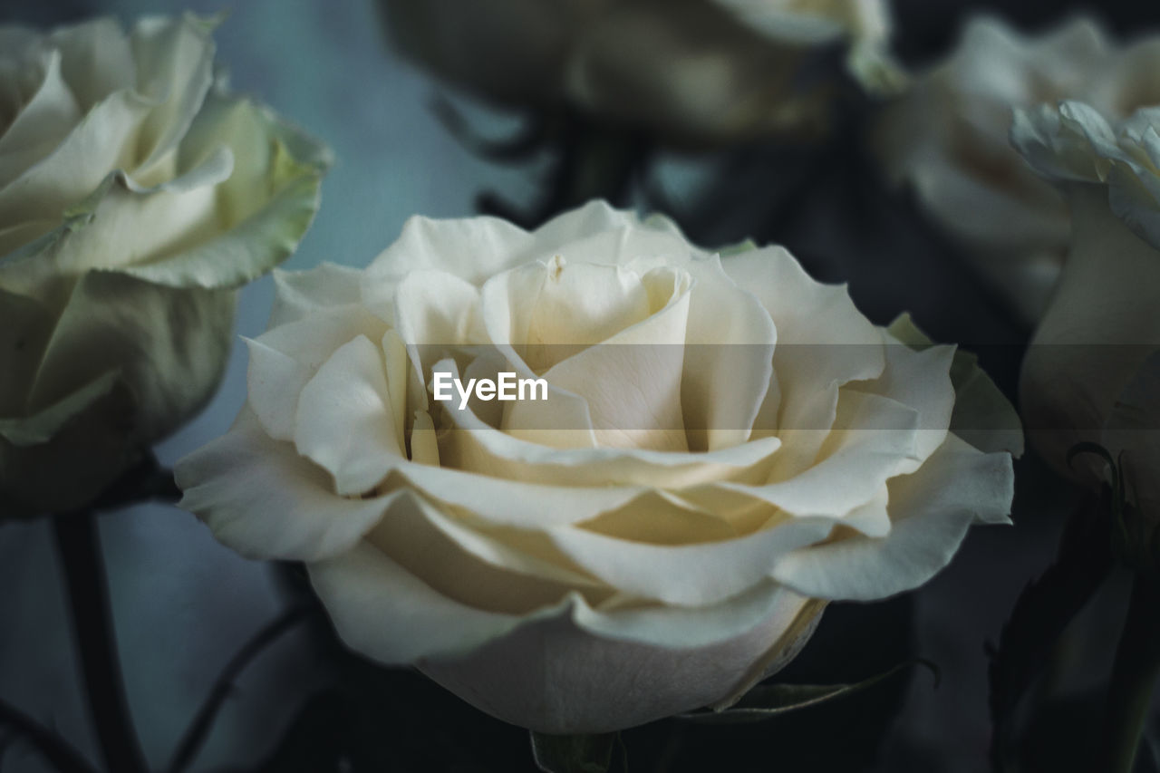flower, petal, flower head, rose - flower, beauty in nature, fragility, nature, white color, freshness, close-up, no people, growth, plant, focus on foreground, day, outdoors, blooming, water