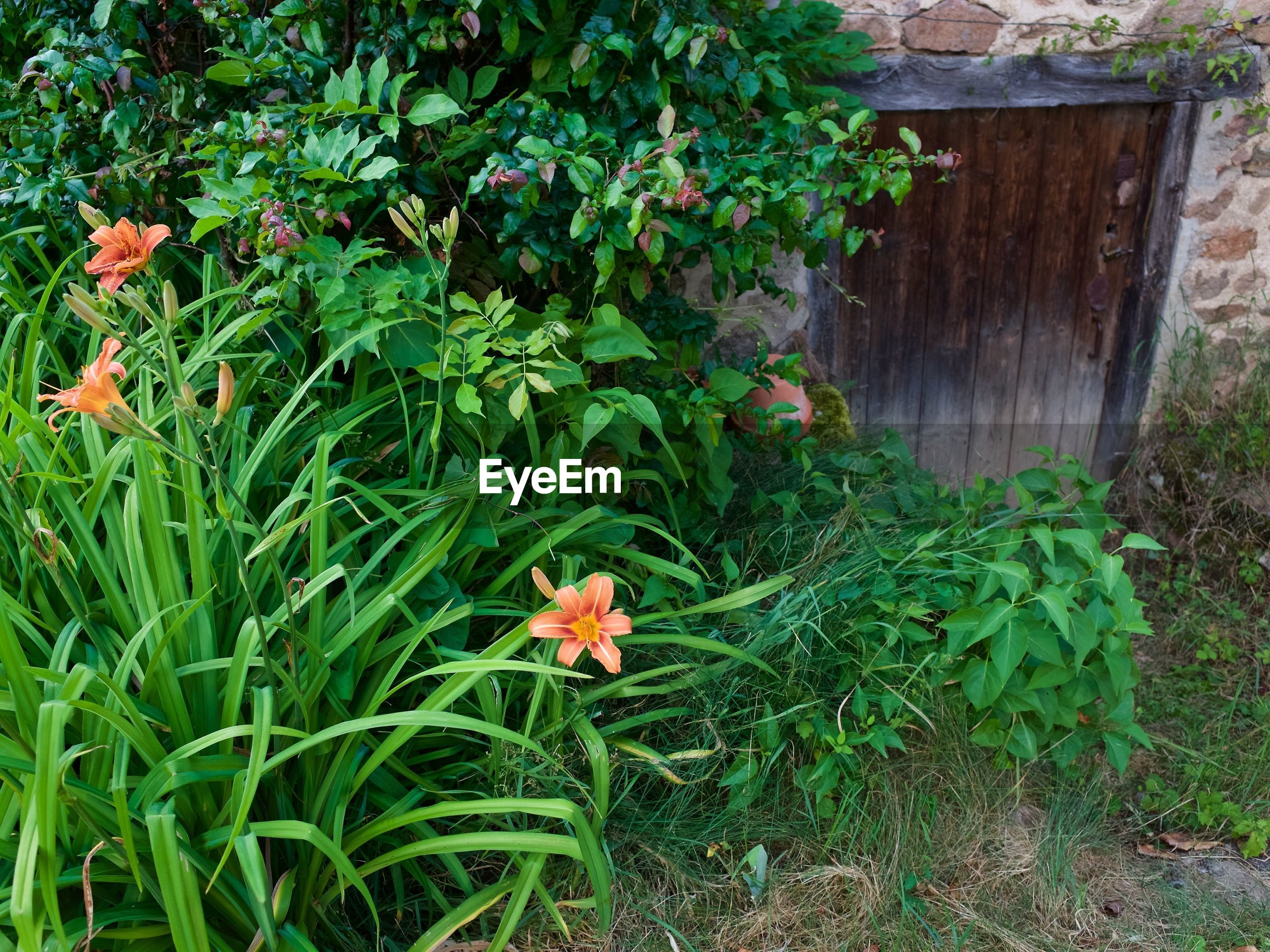 High angle view of orange flowers blooming in yard