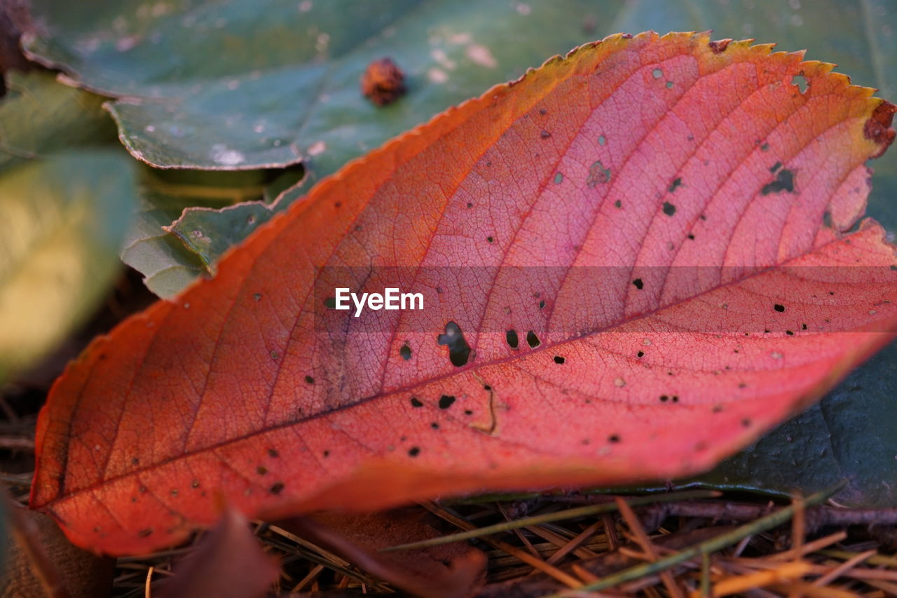 leaf, change, no people, autumn, close-up, day, nature, outdoors, one animal, beauty in nature, growth, animal themes, fragility, maple