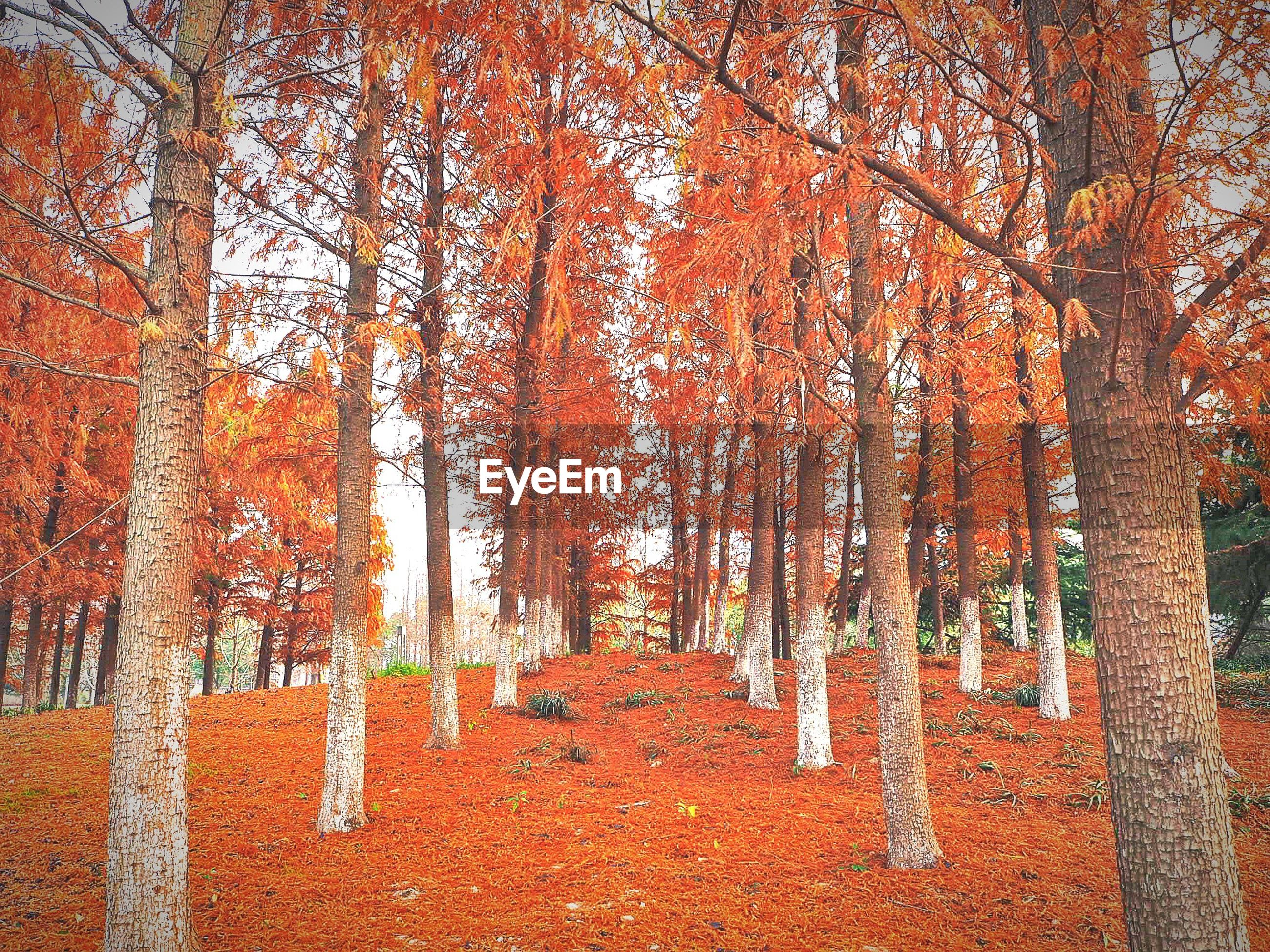 TREES IN FOREST DURING AUTUMN LEAVES