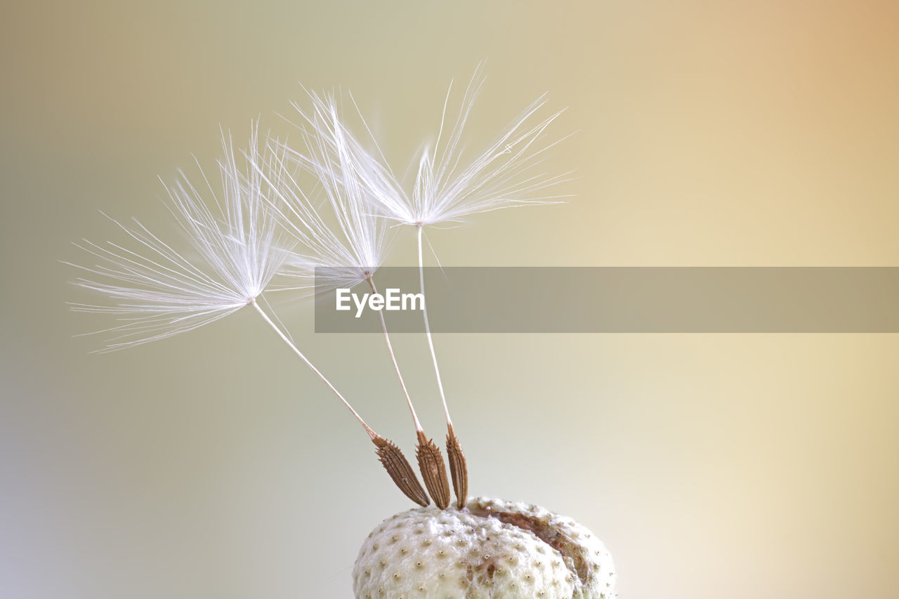 fragility, close-up, flower, freshness, vulnerability, flowering plant, dandelion, beauty in nature, plant, white color, dandelion seed, no people, nature, copy space, softness, studio shot, seed, focus on foreground, indoors, growth, flower head, lightweight