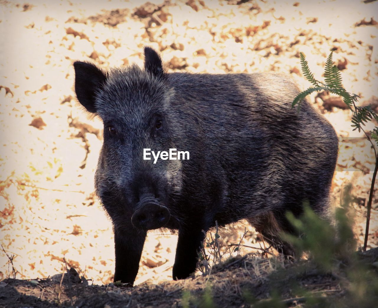 animal, animal themes, one animal, mammal, animal wildlife, animals in the wild, no people, vertebrate, nature, wild boar, outdoors, tree, close-up, pig, portrait, land, day, emotion, standing, plant