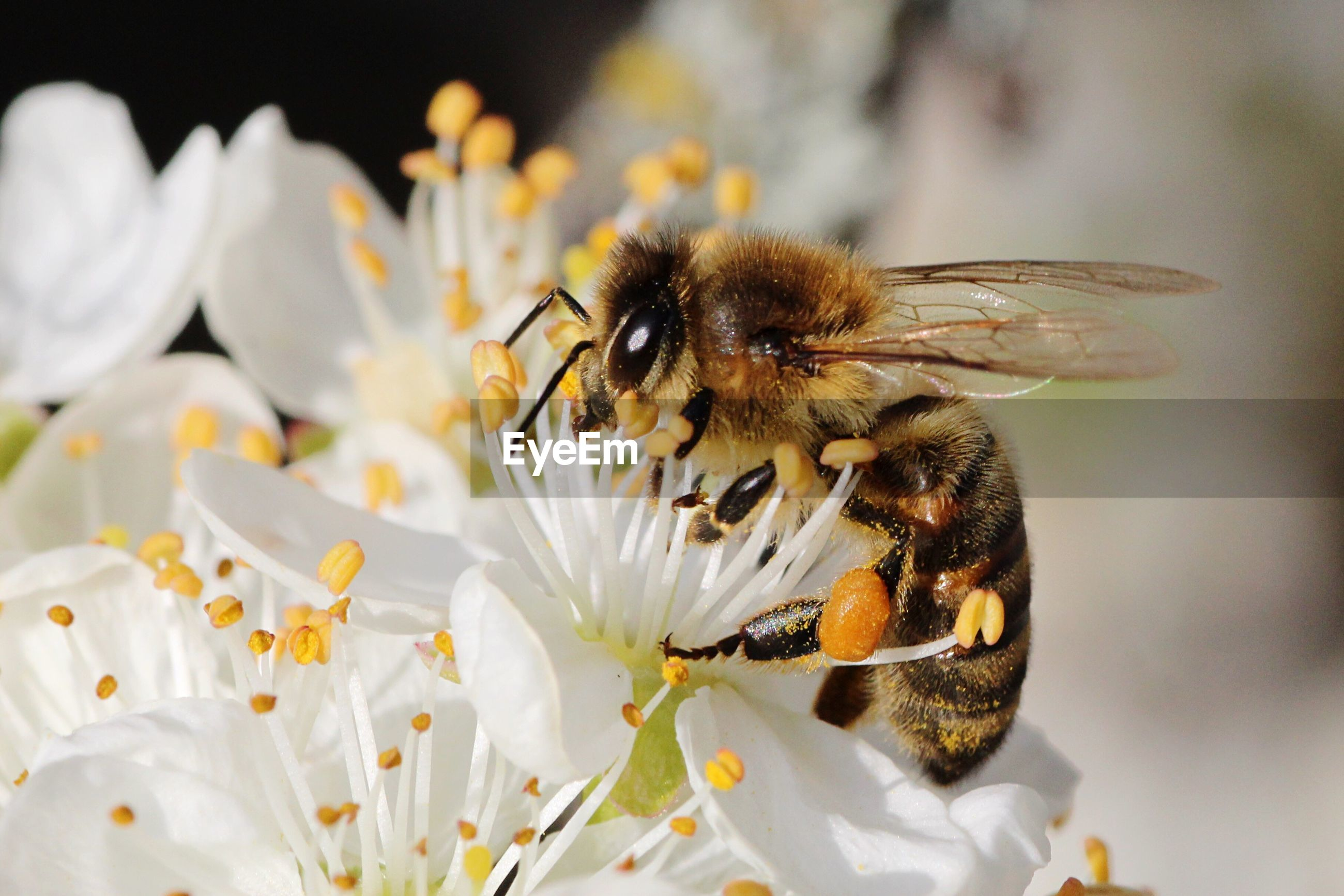Close-up of bee pollinating white flower