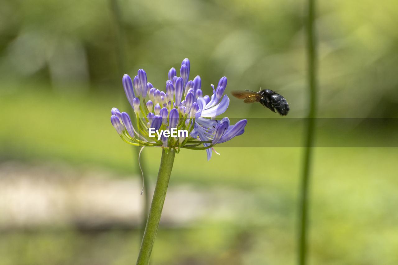 flowering plant, flower, fragility, vulnerability, beauty in nature, plant, freshness, petal, growth, close-up, animal, insect, invertebrate, animals in the wild, animal wildlife, flower head, animal themes, one animal, focus on foreground, purple, no people, pollination, pollen