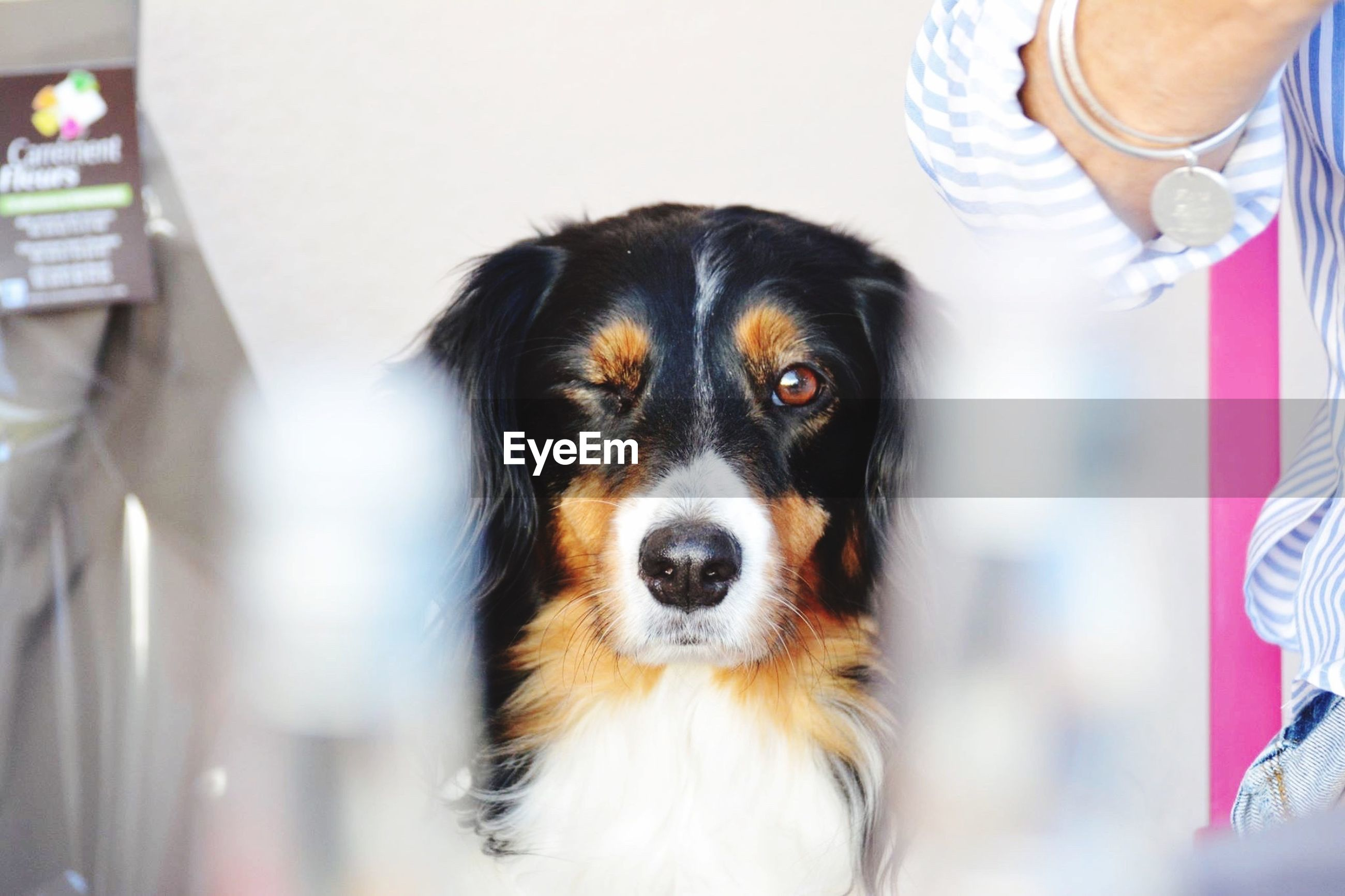 one animal, animal themes, pets, domestic animals, dog, focus on foreground, indoors, portrait, mammal, looking at camera, close-up, part of, animal head, holding, person, lifestyles, front view