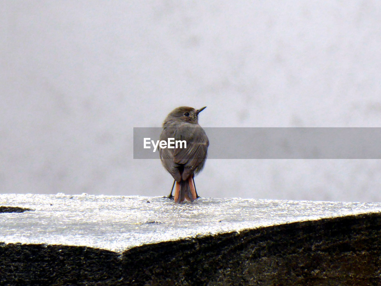 animal themes, animal, bird, one animal, vertebrate, animals in the wild, animal wildlife, perching, day, no people, wall, wall - building feature, nature, sparrow, outdoors, full length, looking, close-up, winter, retaining wall, concrete