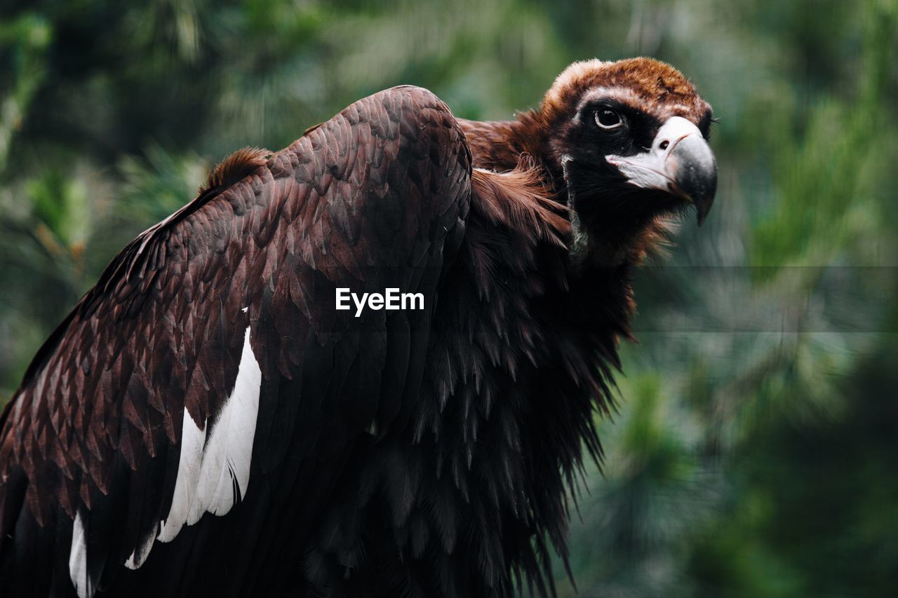 Close-Up Of Vulture Against Blurred Background