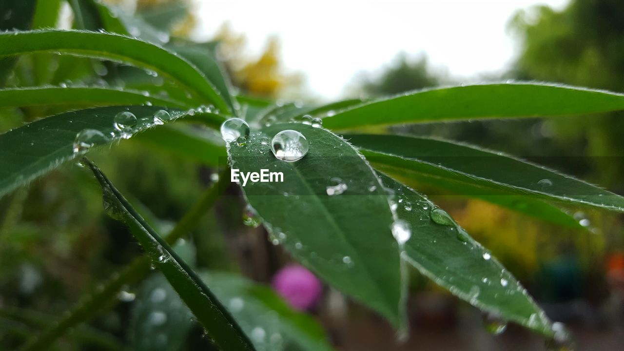 drop, water, wet, leaf, raindrop, rain, nature, green color, droplet, water drop, rainy season, freshness, weather, growth, close-up, purity, beauty in nature, fragility, plant, no people, focus on foreground, outdoors, day, dripping
