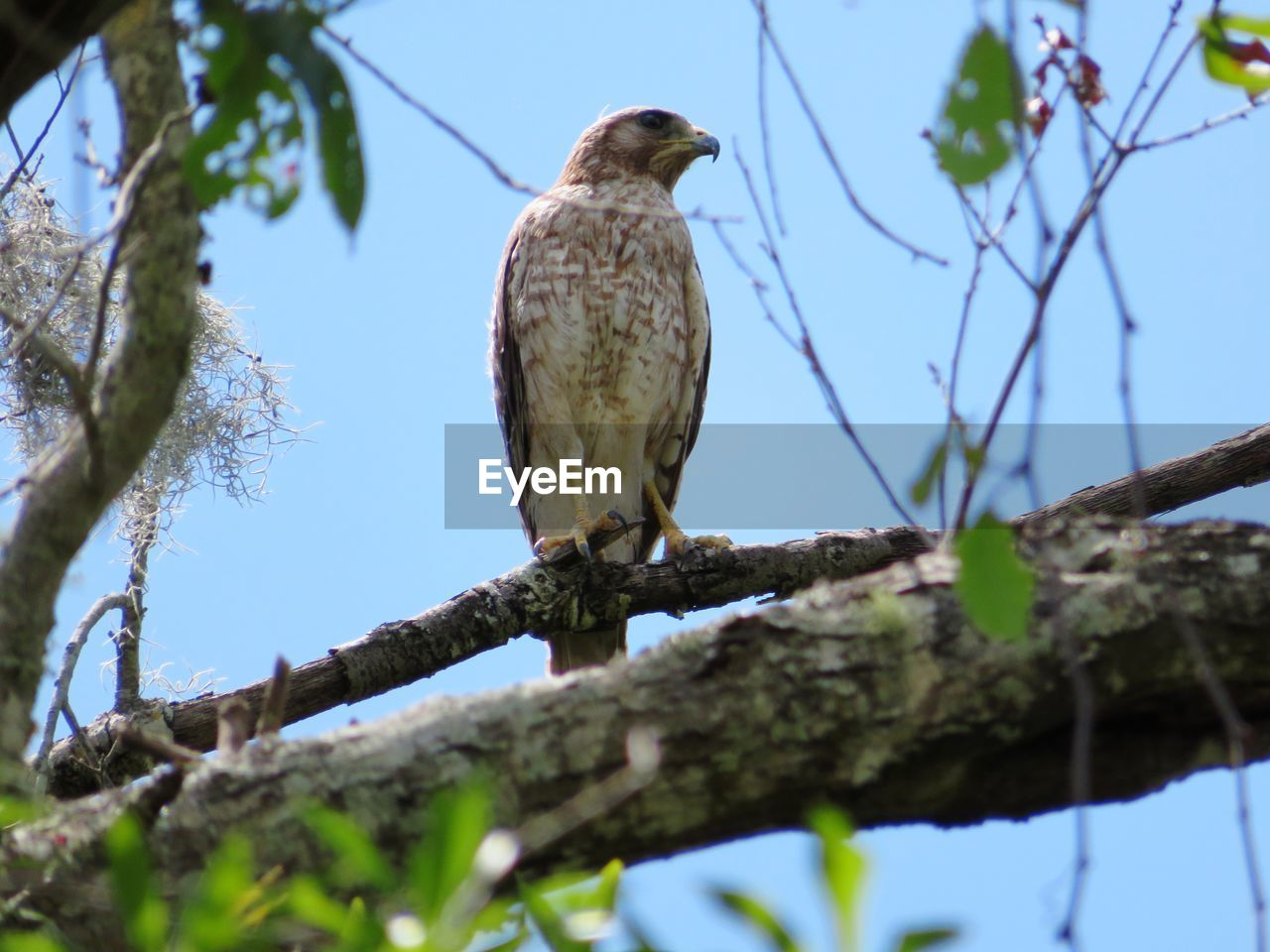 low angle view, tree, perching, bird, animal themes, vertebrate, animals in the wild, branch, animal, plant, one animal, animal wildlife, nature, selective focus, sky, day, no people, focus on foreground, outdoors, bird of prey, eagle