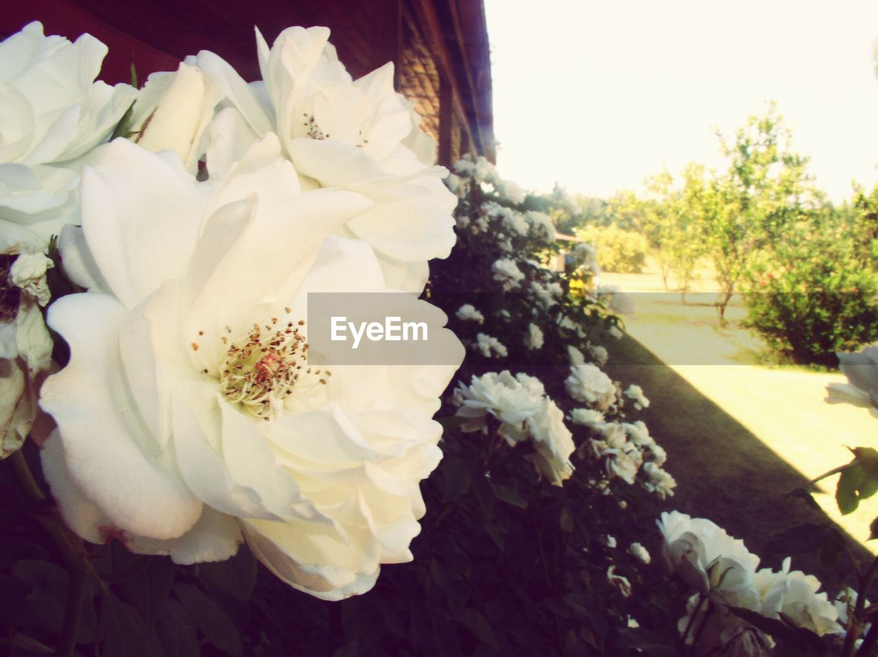 flower, petal, flower head, white color, nature, beauty in nature, fragility, freshness, rose - flower, growth, no people, bouquet, day, plant, close-up, outdoors