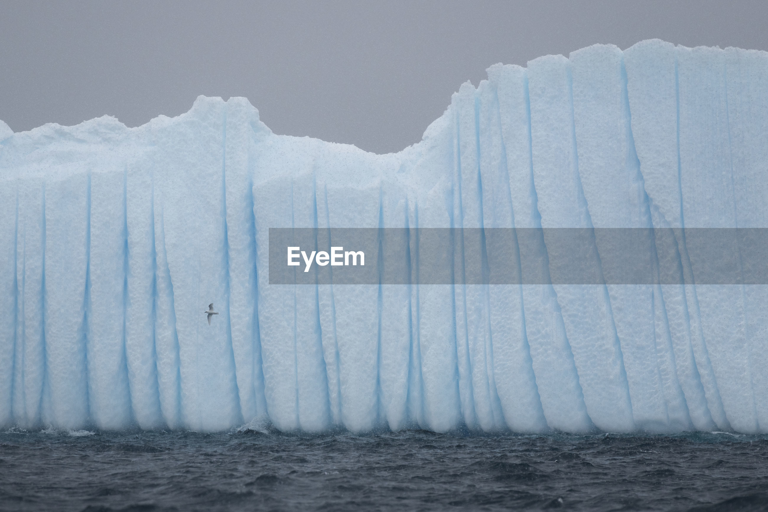 A snow petrel flying next to an iceberg in heavy snowfall outside brabant island, antarctica.