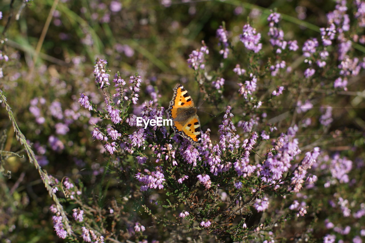 High Angle View Of Butterfly Pollinating On Purple Flower