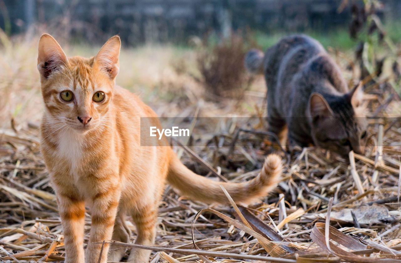 Portrait Of Cat Standing On Field