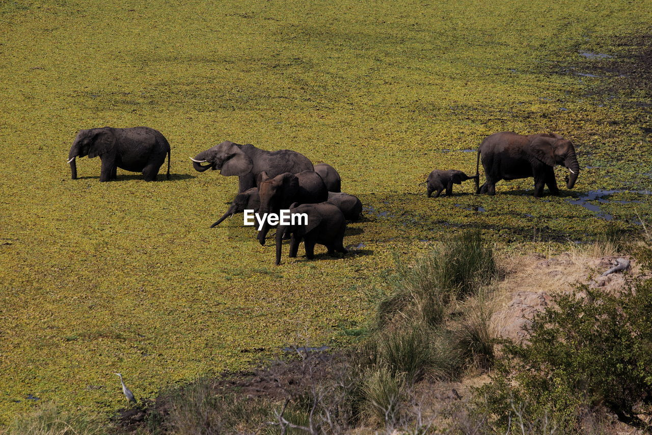mammal, animal, group of animals, animal themes, plant, animals in the wild, field, animal wildlife, grass, domestic animals, land, vertebrate, livestock, no people, nature, grazing, day, landscape, large group of animals, elephant, outdoors, herbivorous, animal family, herd, african elephant