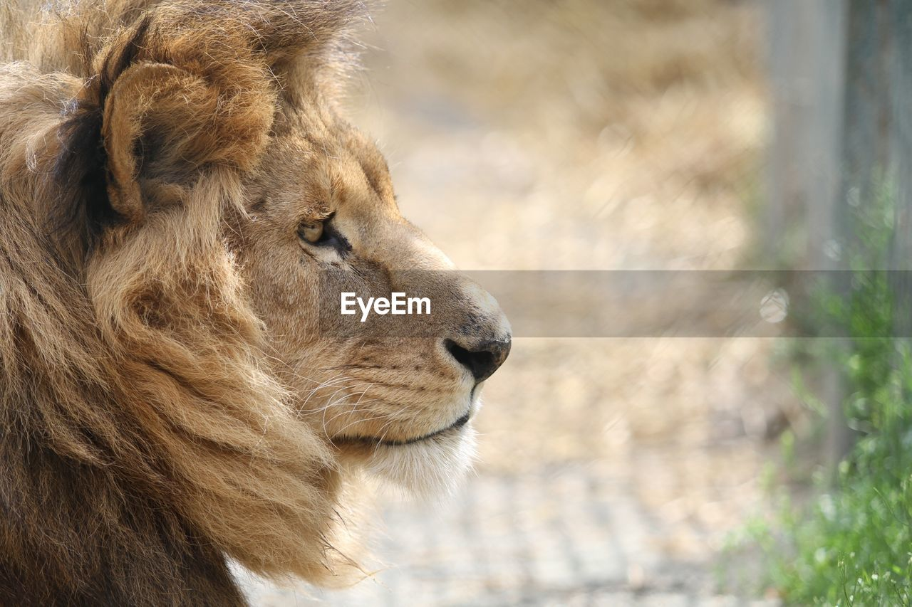 animal themes, mammal, one animal, animal, animal wildlife, feline, cat, animals in the wild, lion - feline, focus on foreground, vertebrate, big cat, looking away, close-up, day, no people, animal body part, looking, animal head, outdoors, zoo, whisker, profile view