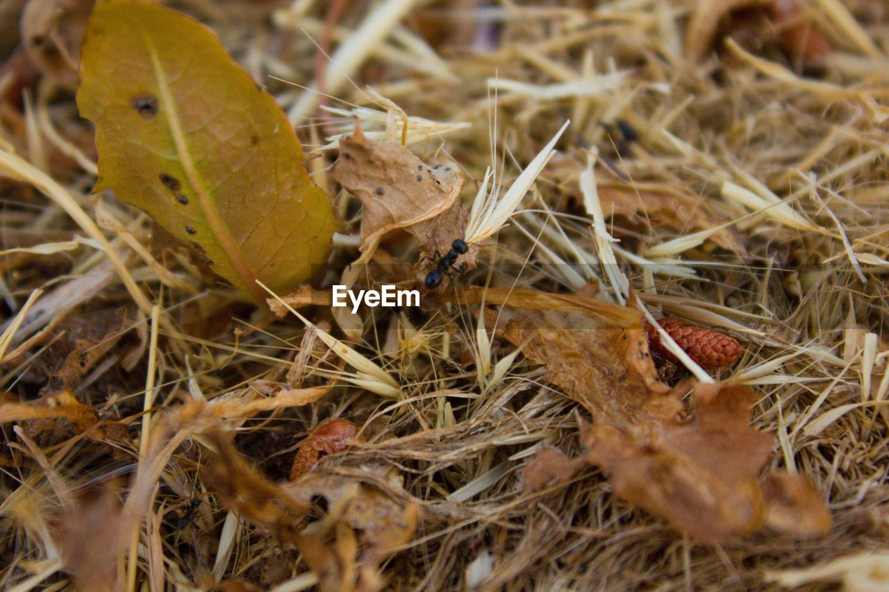 close-up, plant, selective focus, nature, day, no people, animals in the wild, animal wildlife, animal themes, dry, leaf, animal, land, plant part, field, one animal, outdoors, insect, hay, high angle view, leaves