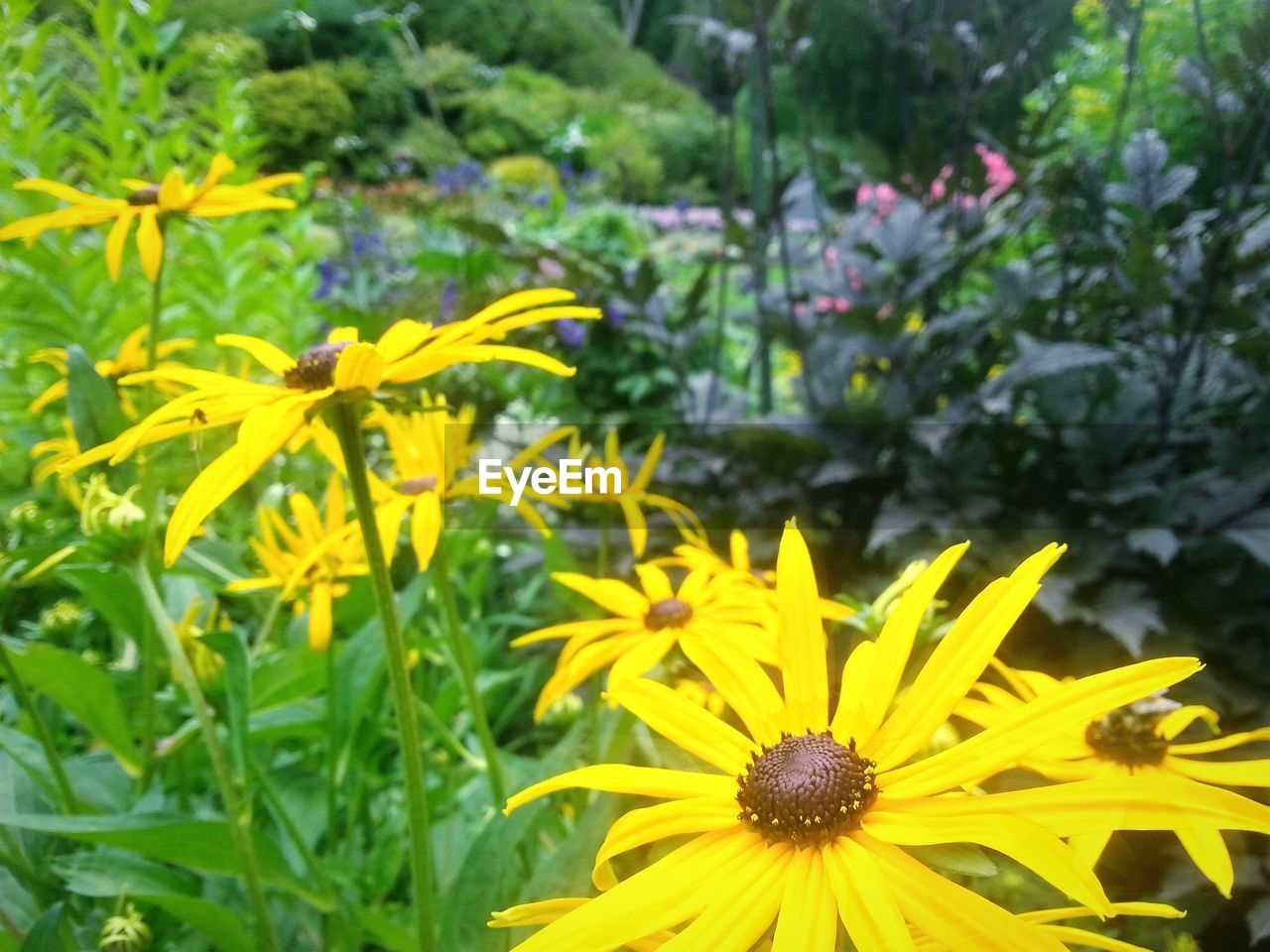 flower, petal, growth, yellow, fragility, plant, nature, beauty in nature, freshness, blooming, flower head, no people, green color, day, outdoors, close-up, black-eyed susan