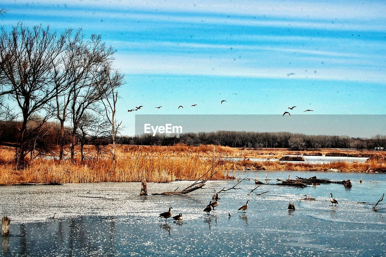 large group of animals, animals in the wild, bird, animal themes, flock of birds, animal wildlife, bare tree, flying, nature, wildlife, lake, water, migrating, outdoors, goose, no people, beauty in nature, day, sky, tree, spread wings, swan