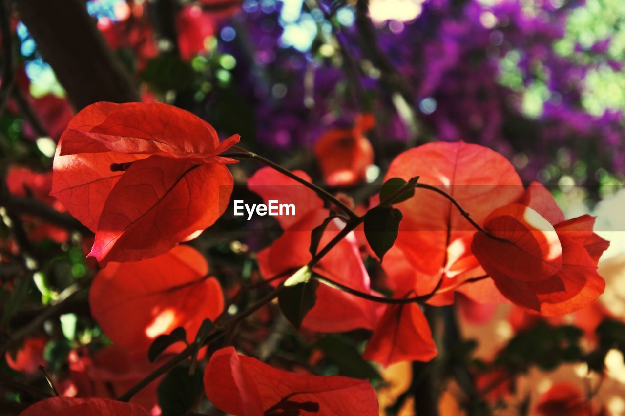 CLOSE-UP OF RED BOUGAINVILLEA PLANT