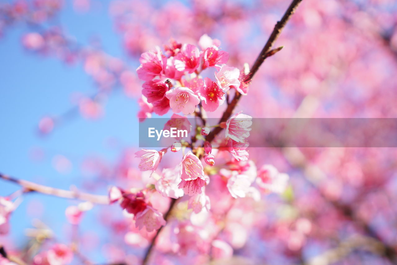 flower, beauty in nature, fragility, growth, cherry blossom, blossom, springtime, nature, freshness, branch, pink color, tree, petal, botany, no people, day, twig, outdoors, apple blossom, close-up, stamen, plum blossom, low angle view, flower head, blooming