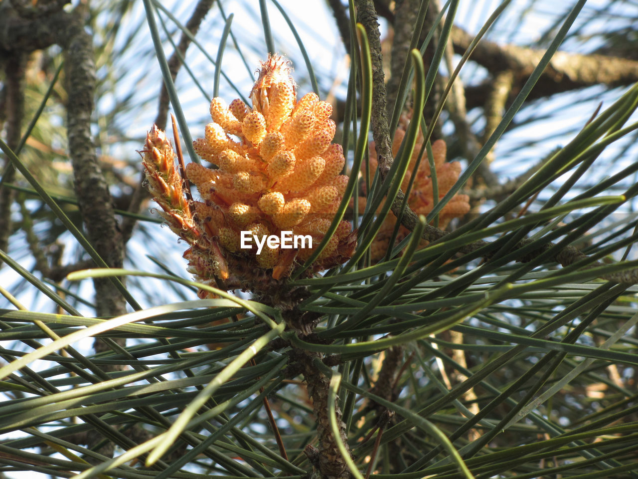 plant, growth, beauty in nature, tree, close-up, nature, focus on foreground, no people, day, coniferous tree, branch, pine tree, needle - plant part, tranquility, pine cone, green color, pinaceae, outdoors, selective focus, leaf