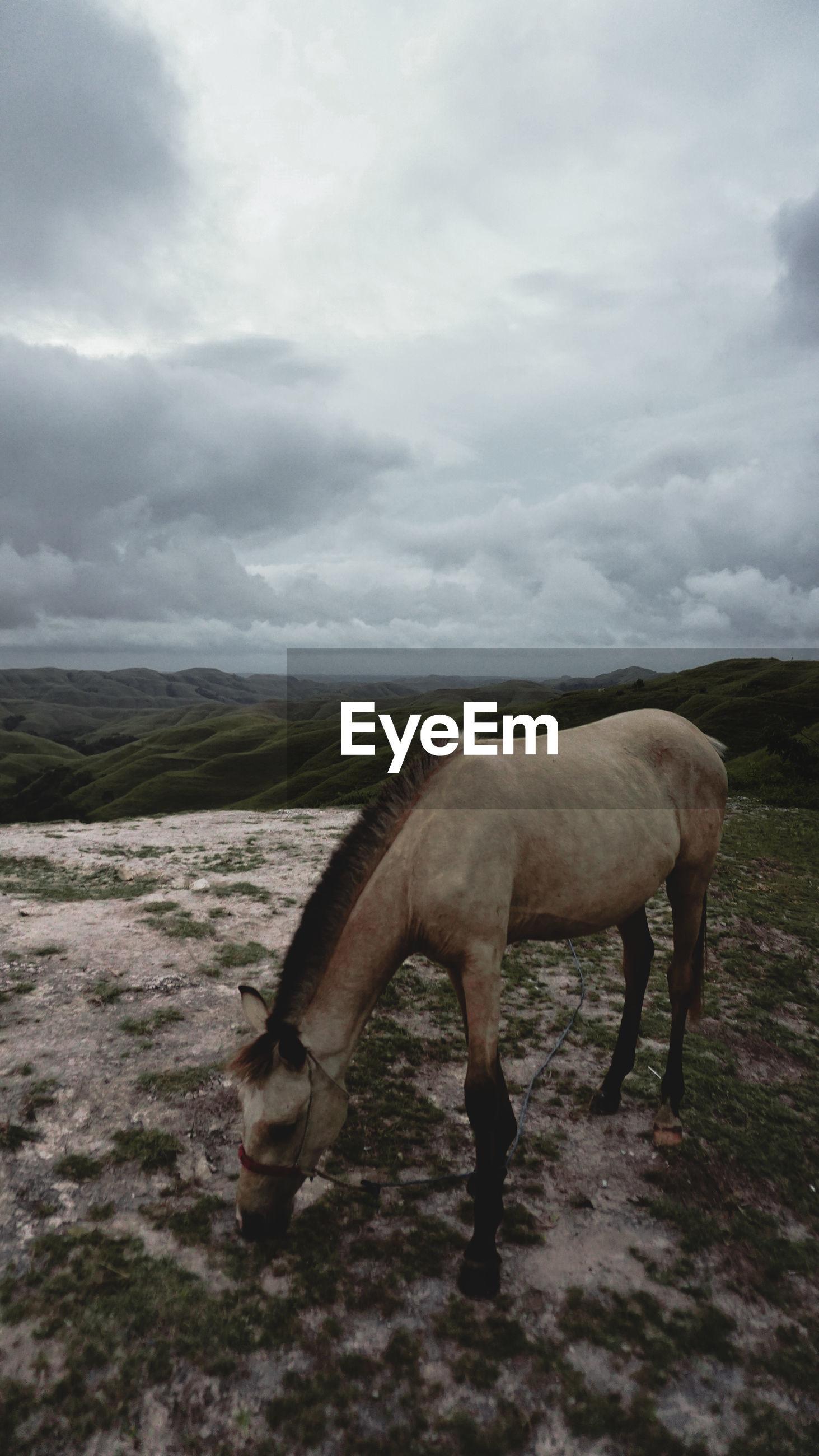 Horse on the hill, sumba island, indonesia