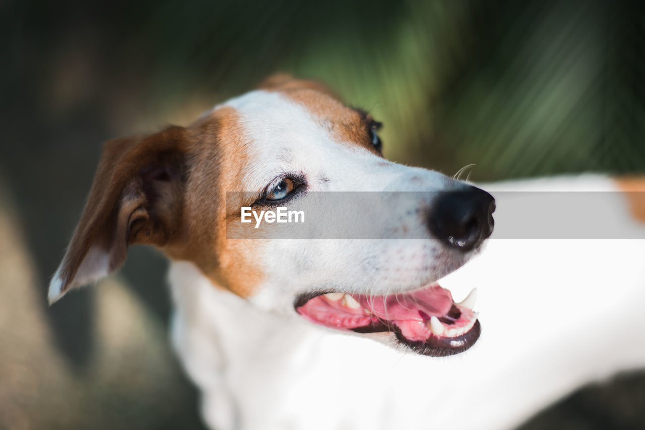 dog, canine, one animal, domestic, domestic animals, animal themes, pets, mammal, animal, focus on foreground, looking, vertebrate, animal body part, close-up, looking away, no people, facial expression, sticking out tongue, day, animal head, panting, mouth open, animal mouth, jack russell terrier, animal eye
