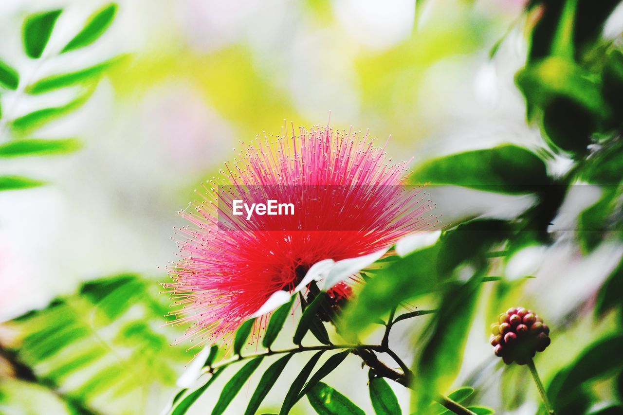 plant, flowering plant, fragility, flower, freshness, vulnerability, growth, beauty in nature, close-up, flower head, petal, inflorescence, pink color, focus on foreground, nature, selective focus, day, no people, outdoors, pollen, sepal
