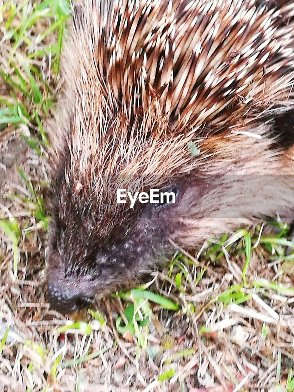 one animal, animals in the wild, hedgehog, animal wildlife, animal themes, close-up, no people, mammal, outdoors, day, nature, grass
