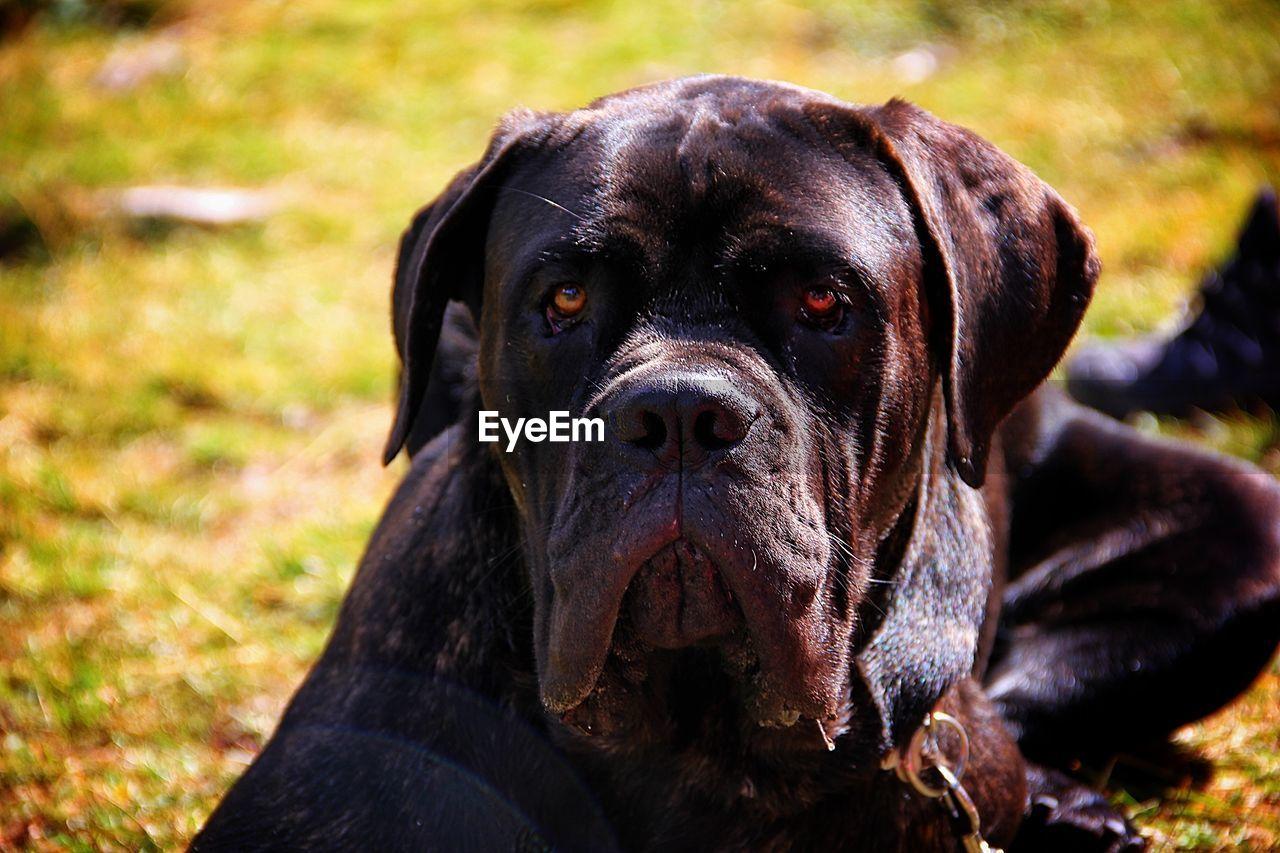 Black dog lying on field