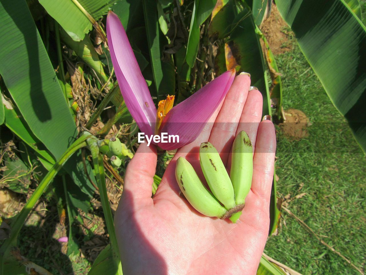 plant, human hand, freshness, hand, holding, growth, real people, human body part, nature, close-up, green color, day, one person, flower, flowering plant, plant part, pink color, food, unrecognizable person, food and drink, outdoors, finger