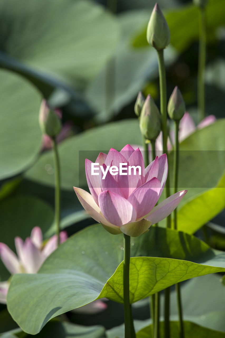 Close-Up Of Pink Lotus Flower Blooming Outdoors