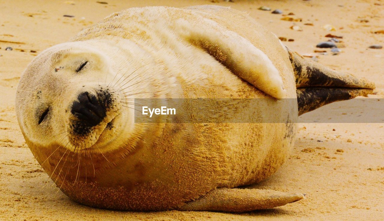 one animal, animal themes, close-up, seal - animal, no people, animal, sea, animal wildlife, underwater, animals in the wild, beach, mammal, marine, relaxation, sea life, land, sand, lying down, vertebrate, focus on foreground, animal nose