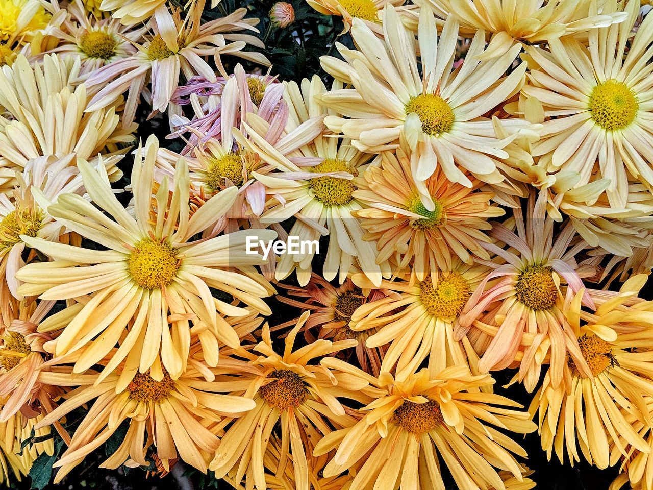 flower, flowering plant, plant, vulnerability, fragility, freshness, close-up, flower head, petal, inflorescence, full frame, backgrounds, beauty in nature, yellow, growth, no people, chrysanthemum, nature, pollen, day