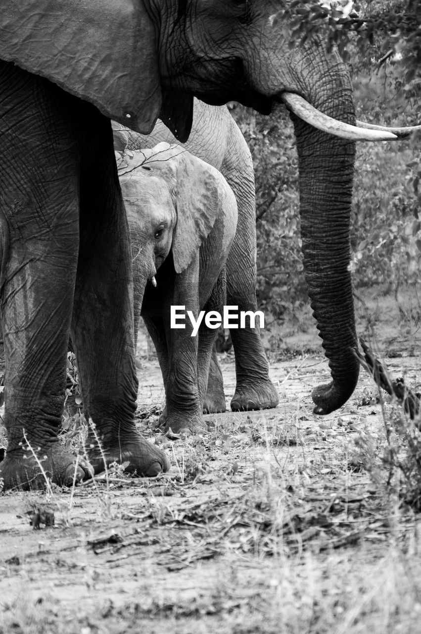 animal themes, animal, mammal, elephant, animal wildlife, animals in the wild, group of animals, animal body part, vertebrate, no people, two animals, day, land, animal trunk, field, domestic animals, young animal, animal family, outdoors, herbivorous, african elephant, animal leg, animal head