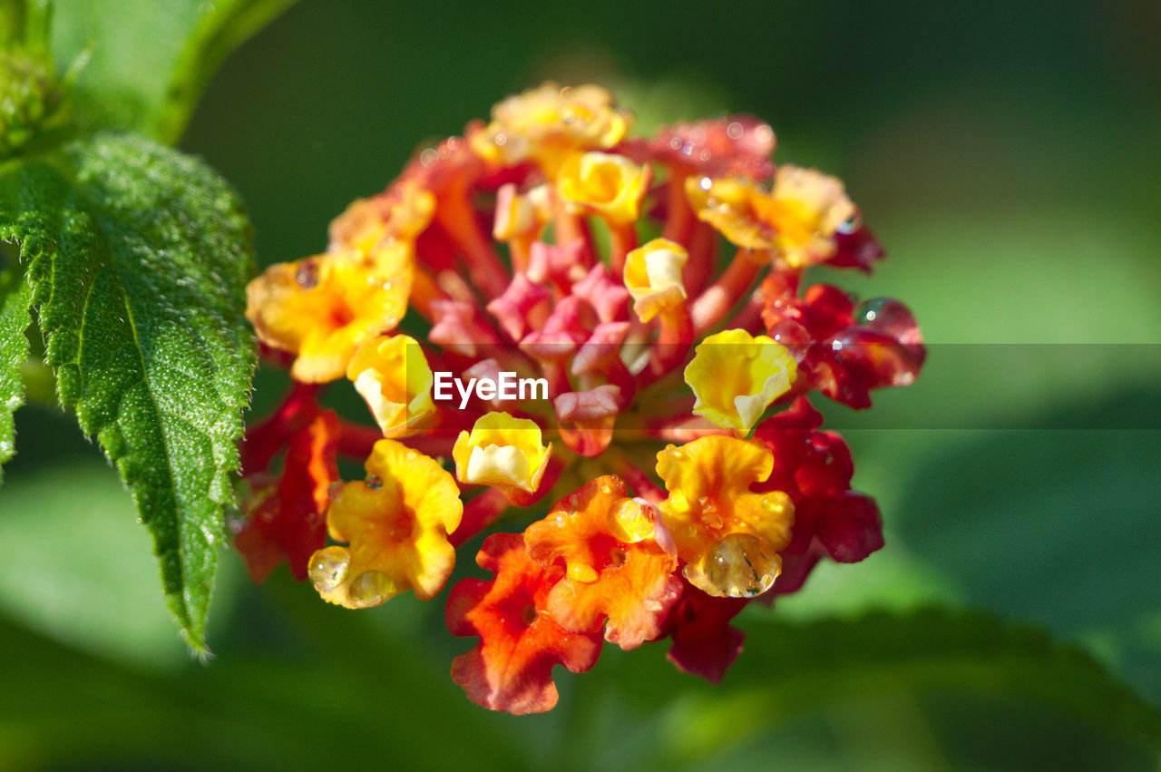 flowering plant, flower, plant, vulnerability, beauty in nature, freshness, fragility, close-up, petal, growth, flower head, inflorescence, lantana, nature, no people, day, leaf, plant part, focus on foreground, green color, outdoors, pollen