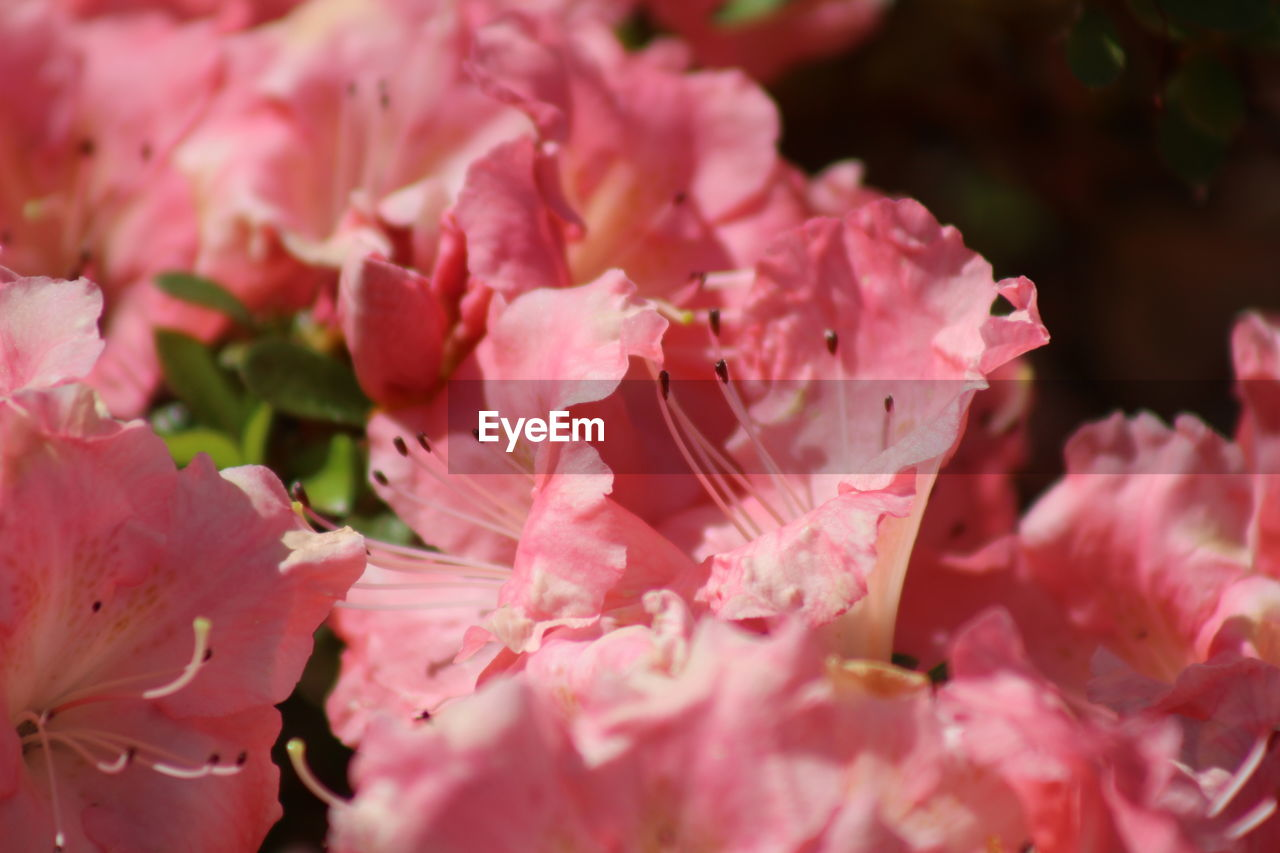 flowering plant, flower, pink color, fragility, vulnerability, freshness, beauty in nature, petal, growth, plant, close-up, flower head, inflorescence, rhododendron, no people, nature, day, blossom, selective focus, pollen, springtime, outdoors, bunch of flowers, cherry blossom