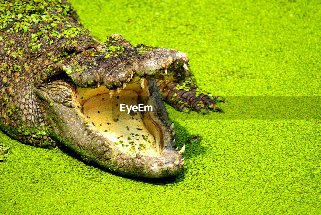 one animal, animal themes, animal, reptile, animals in the wild, animal wildlife, grass, animal body part, green color, no people, warning sign, sign, animal head, close-up, underwater, crocodile, plant, vertebrate, survival, communication, mouth open, animal teeth, animal mouth, swamp, aggression